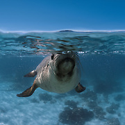 Juvenile Australian sea lion (Neophoca cinerea) at the ocean surface taking a breath in between play sessions. Photographed at Carnac Island, Western Australia
