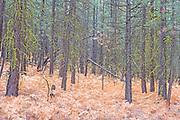 Autumn Swordferns and Ponderosa Pine Forest, Eastern Oregon