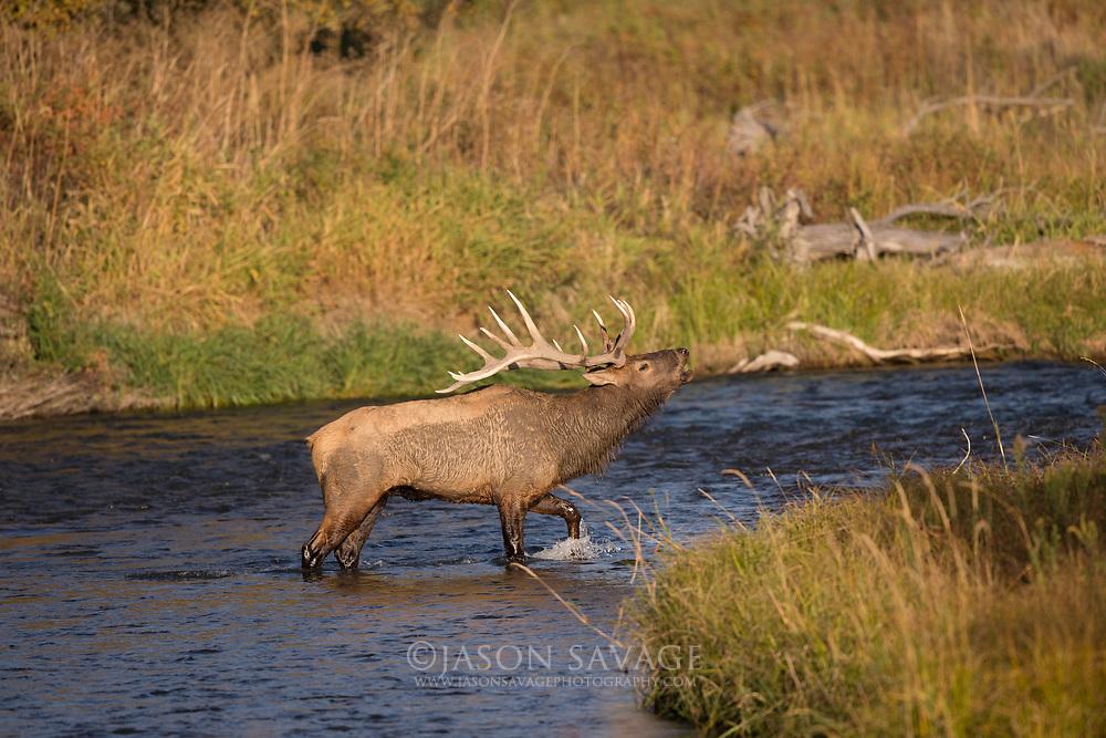 Bull Elk on the National Bison Range, Montana.