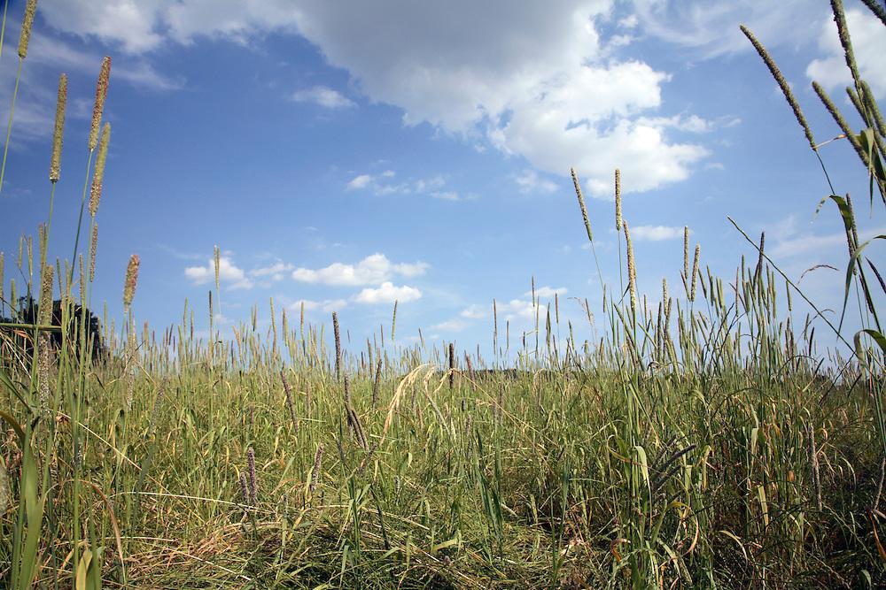 Summer hay meadow