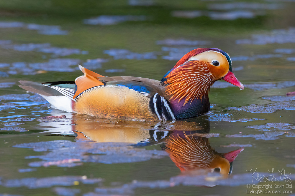 A male mandarin duck (Aix galericulata) swims on Juanita Creek in Kirkland, Washington, several thousand miles from its native range in east Asia. While the mandarin duck is native to Japan, southeast Russia and eastern China, it has been exported to the United Kingdom and North America, where it has occasionally escaped captivity and established feral populations.