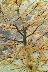 Larix decidua 'Little Bogle' syn L. europaea - Larch in winter