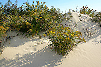 Sand dunes and goldenrod, Assateague Island National Seashore, Maryland, USA