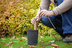Taking hardwood cuttings from a philadelphus. Placing cuttings around edge of pot.