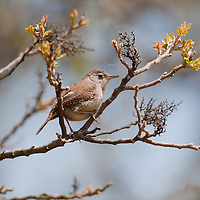 The House Wren, Troglodytes aedon, is a very small songbird of the wren family, show sitting in a tree at Sandy Hook