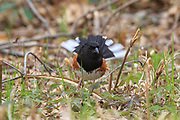 Male Rufous-sided Towhee in spring breeding plumage.