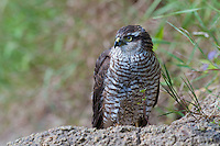 Sparrowhawk (Accipiter nisus) at the banks of the river Allier. Pont-du-Chateau, Auvergne, France.