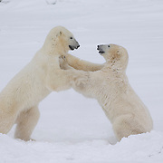 Polar bear, two play fighting as they wait for Hudson Bay to freeze. Cape Churchill, Hudson Bay, Manitoba