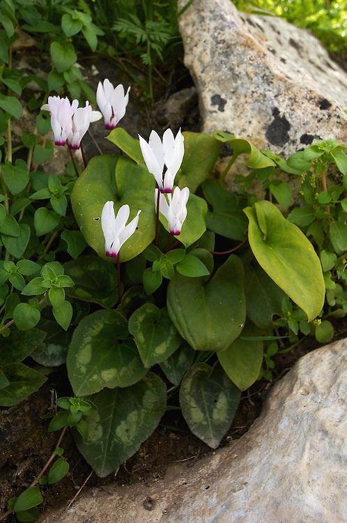 Cyclamen (Cyclamen persicum), Akamas peninsula, Cyprus