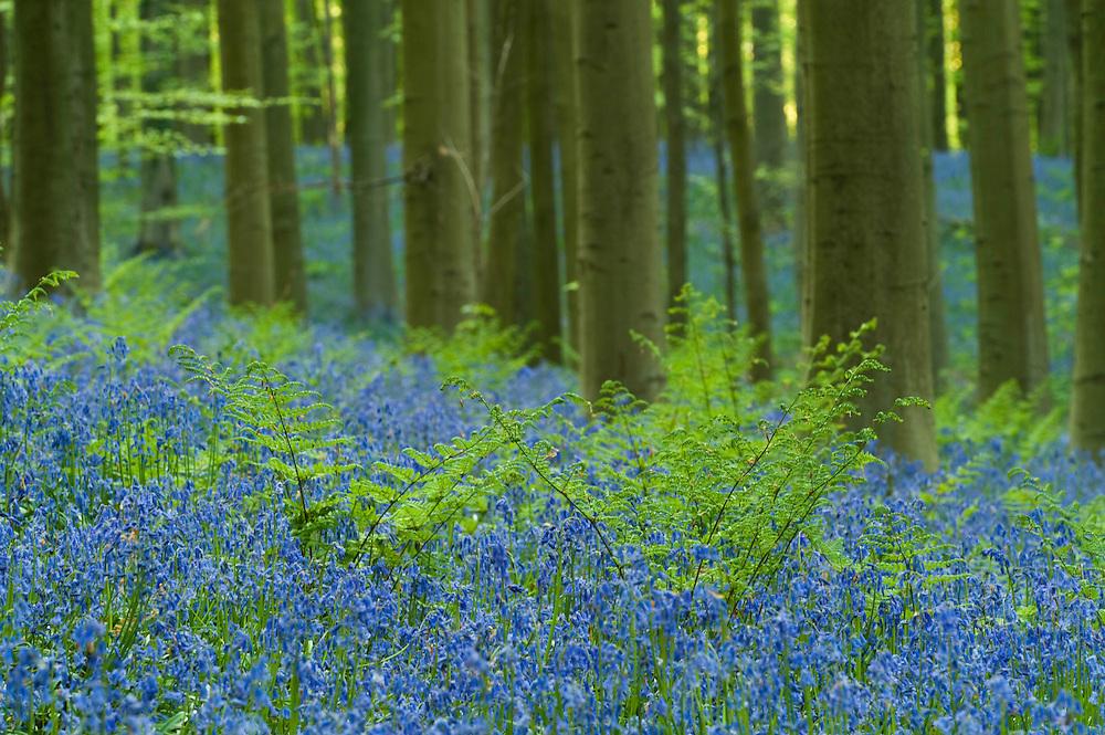 Ferns bracken Pteridium aquilinum and bluebells Hyacinthoides non.-scripta in Hallerbos forest Belgium