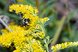 A bumble bee collects pollen from a tall or late goldenrod bloom (Solidago altissima)