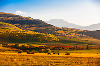 Cows grazing, San Juan Mountains, along Last Dollar Road between Ridgway and Telluride, Colorado USA.