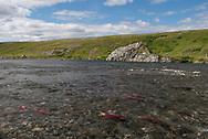 Sockeye Salmon swim in a backcountry stream, Katmai Preserve