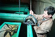 Brabant, Nederland, 15-04-2001Veehouder in Asten is gedeeltelijk overgestapt op palingteelt. Veeteelt, saneringFoto: Flip Franssen/Hollandse Hoogte