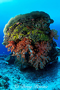 coral bommy or coral head with soft corals, Dendronephthya sp., Sipadan Island, off Borneo, Sabah, <br /> Malaysia ( Celebes Sea )