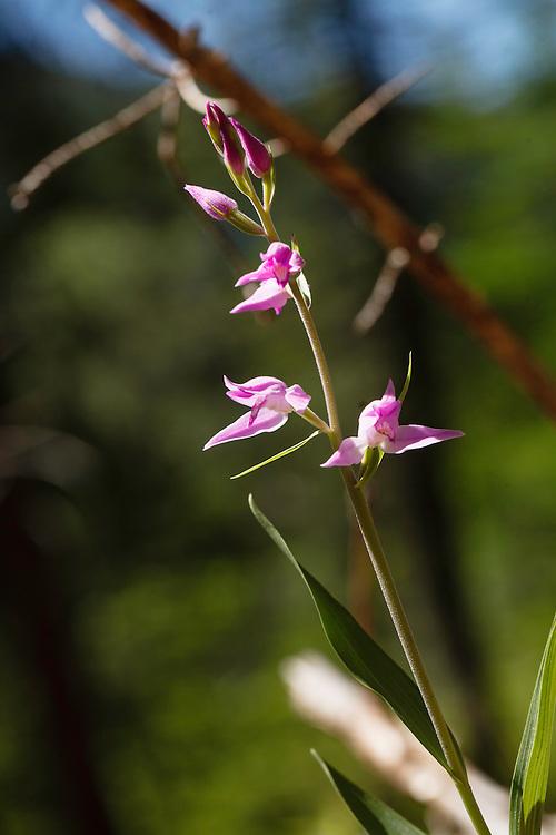 Rood Bosvogeltje, Cephalanthera rubra