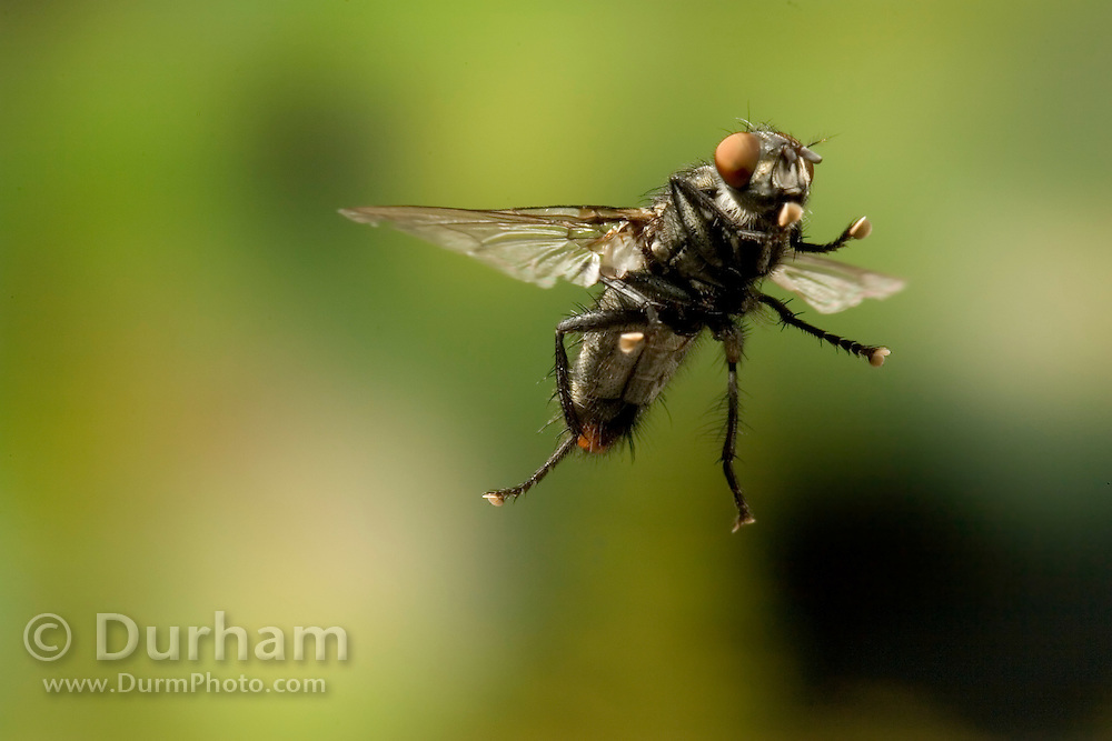 A fly photographed with a high-speed camera in 1/50,000 of a second.