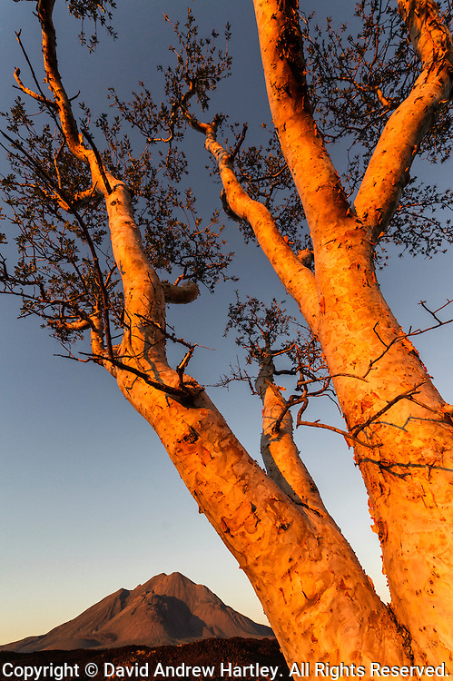 The last rays of light hit an Elephant tree growing in the lava flow of the Tres Virgenes, Baja California Sur, Mexico