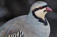 Chukar partridge, Alectoris chukar, in the Haleakala National Park on Maui, Hawaii.