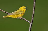 American Yellow Warbler - Setophaga petechia - Adult male
