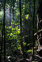 Light penetrates the dense Amazonian canopy bringing hope and life to all the species in the undergrowth. Madidi National Park, Bolivia.