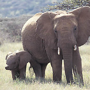 African Elephant, (Loxodonta africana)  Mother and young. Kenya. Africa.