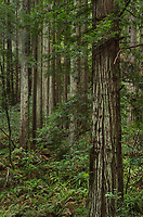 Coast Redwood (Sequoia sempervirens) forest, Samuel P. Taylor State Park, California