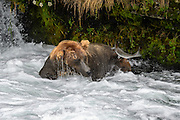 Grizzly Bear (Ursus arctos) photographs during the Salmon Run from Brooks Falls, Katmai National Park, Alaska, USA