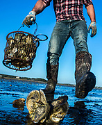 A woman harvests shellfish at low tide in Wellfleet, MA.