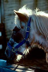 Bridled white horse