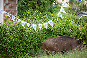 A wild boar sow in Haifa, Israel, April 09, 2021. Several neighborhoods in the northern Israeli city are being visited by families of wild boars. Many of the animals felt safer to come out of the Carmel woods surrounding the city in search for food, as most people were confined to their homes due to covid-19 lockdowns. As Israel slowly returned to normal life, following a large scale vaccination operation, human and animal encounters became more and more common.