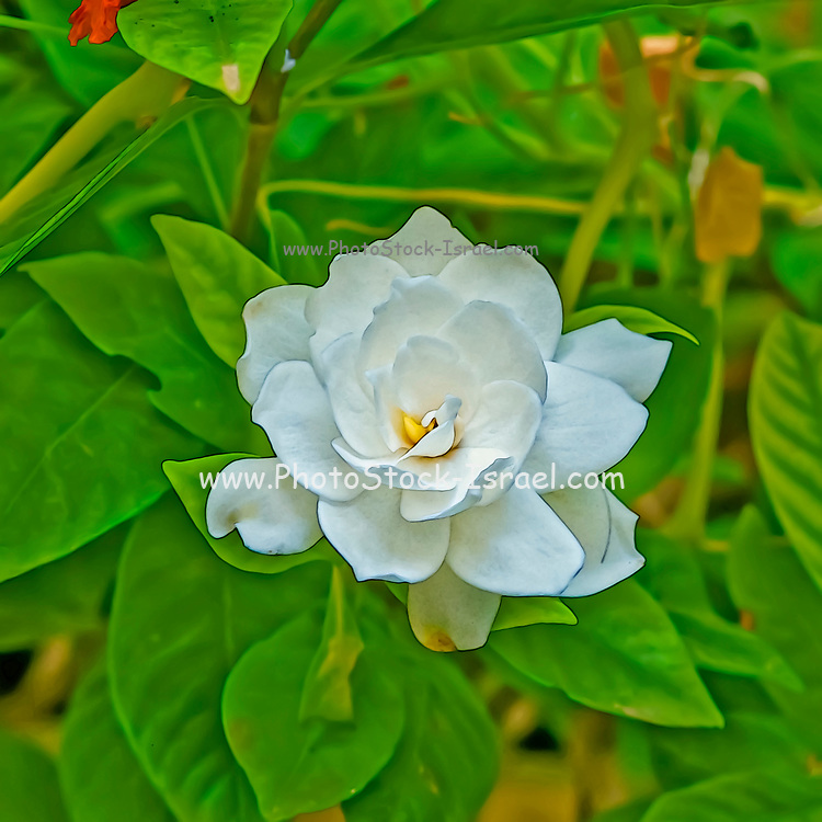 computer generated image of a White flower of the Gardenia or Cape Jasmine plant (Gardenia jasminoides). An evergreen flowering plant of the coffee family Rubiaceae. It originated in Asia and is most commonly found growing wild in Vietnam,