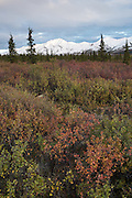 Fall color of the tundra below snowy mountains of The Alaska Range, Denali National Park, Alaska