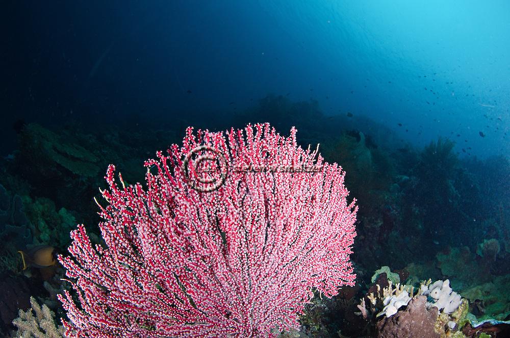 Gorgonian Sea Fan, Echinogorgia sp, Bali Indonesia