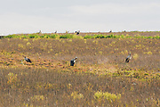 A loose flock of non-breeding adult white storks (Ciconia ciconia) on stubble field in summer, near Rūjiena, Latvia Ⓒ Davis Ulands | davisulands.com