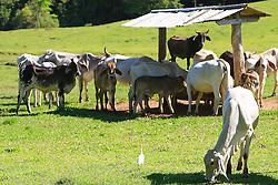 Rebanho bovino na fazenda Santa Helena, em Encruzilhada do Sul. FOTO: Jefferson Bernardes / Preview.com