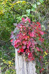 Virginia Creeper (Parthenocissus quinquefolia) grows on a host stump