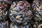 Local live mussels on display for sale on market stall at old street market - Mercado -  in Ortigia, Syracuse, Sicily