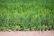 Carrot crop growing in field