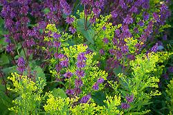 Solidago 'Ledsham' with Salvia verticillata 'Smouldering Torches'