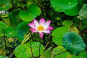 Lotus Blossom  Flower, Ving Trang Pagoda, Vietnam, Asia