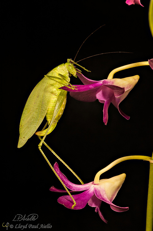 """This Fork-Tailed Bush Katydid (Scudderia furcate) is climbing the blooms of a Dendrobium orchid. Primarily nocturnal in habit, it has become expert at camouflage by mimicking the shape and colors of the leaves upon which it feeds.  <br /> <br /> Insects in this family (Tettigoniidae) are commonly called katydids or bush crickets and more than 6,400 species are known. The Fork-Tailed Bush Katydid, is native to the United States and widespread in the eastern and southeastern regions.  Adults are 14 - 75mm (0.55 - 2.95 inches) in length and have excellent eyesight.  <br /> <br /> Katydids have much longer antennae than grasshoppers, averaging 39mm (1.53 inches) and they only produce one generation annually since the eggs require a rest period.  <br /> <br /> The males have sound-producing organs located on the hind angles of their front wings. The males use this sound for courtship, which occurs late in the summer. The sound is produced by rubbing two parts of their bodies together, a process called stridulation. The males call 24-hours a day using 2-3 chirps followed by various periods of silence while waiting for a female to respond.  The insect gets its name from the sound of the male's call: """"Katy-did"""". <br /> <br /> The tempo of the calls is governed by ambient temperature.  For American katydids, the number of chirps in 15 seconds plus 37 will be close to the outside temperature in degrees Fahrenheit."""