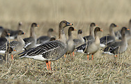 Bean Goose - Anser fabalis<br /> subspecies fabalis aka Taiga Bean Goose