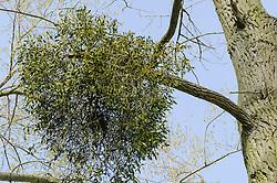 Maretak, Mistletoe, Viscum album subsp. album