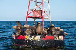 California Sea Lions, Zalophus californianus, resting on navigational buoy, Magdalena Bay, Mexico, Pacific Ocean