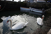 Pair of mute swans, Cygnus olor,  Castletownshend, Co. Cork, Ireland
