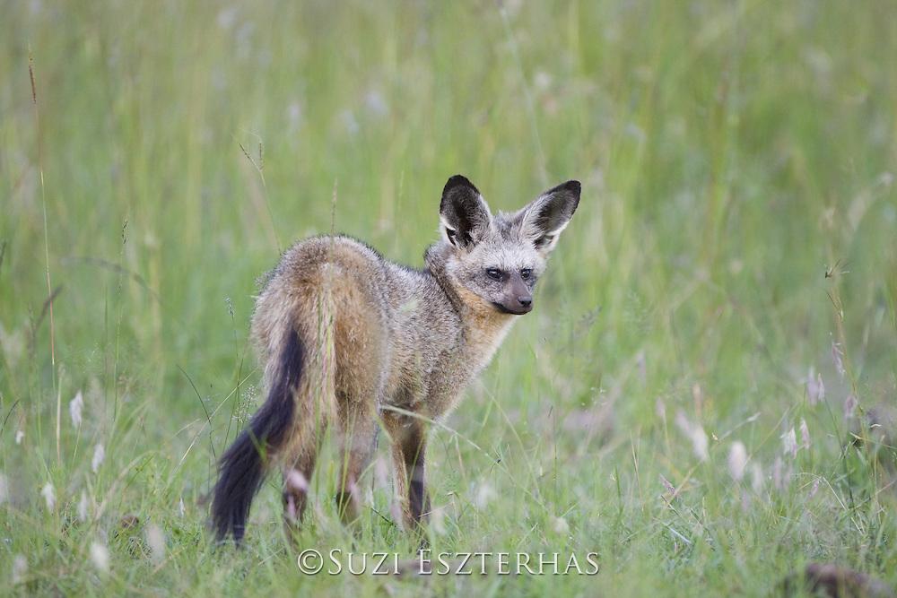Bat-eared fox<br /> Otocyon megalotis<br /> Masai Mara Reserve, Kenya