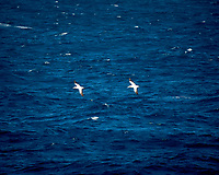 Pair of Cape Gannet viewed from the deck of the MV World Odyssey. Image taken with a Nikon N1V3 camera and 70-300 mm VR lens