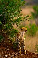 Cheetah, Kruger National Park, South Africa