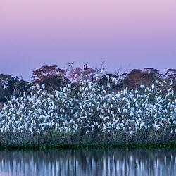 """""""Banhado com Ninhal das Garças (Paisagem e Ardeidae) fotografado em Corumbá, Mato Grosso do Sul. Bioma Pantanal. Registro feito em 2017.<br /> <br /> <br /> <br /> ENGLISH: Puddle and Nest Colony photographed in Corumbá, Mato Grosso do Sul. Pantanal Biome. Picture made in 2017."""""""